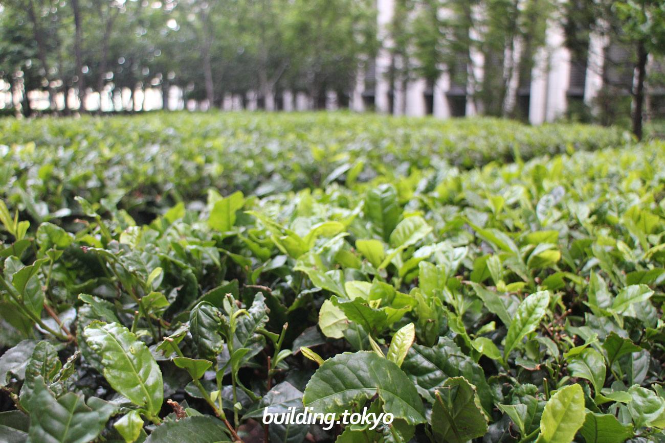 ビル、スカイガーデン。お茶畑です。